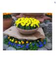 Hạt Giống Hoa Cúc Vạn Thọ Mỹ Lùn Vàng Siêu Hoa,